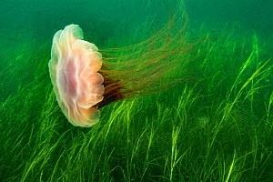 Lion's mane jellyfish (Cyanea capillata) swept in current over a bed of eel grass, along the Eastern shore of Nova Scotia, Canada, July.  -  Nick Hawkins