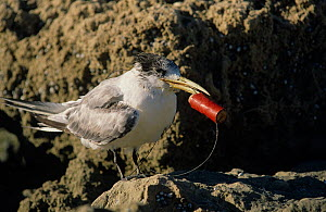 Crested tern (Sterna bergii) juvenile entangled in a fishing line, likely cut off by a fisherman after the bird swallowed the hooked bait. Australia.  -  Jiri Lochman