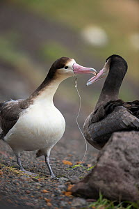 Short tailed albatross (Phoebastria albatrus) subadults courting, one with fish-hook and monofilament line embedded in throat. Tsubamezaki, Torishima Island, Japan. December.  -  Tui De Roy