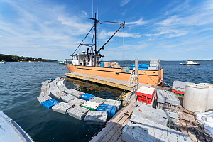 Lobster smack, boats with open holding wells on deck, allowing  live lobsters to be shipped. Each crate contains 9lbs of live lobster. Chebeague Island, Casco Bay, Maine, USA. July. - Jeff Rotman