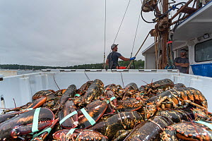 Crate of lobsters being unloaded. Chebeague Island, Casco Bay, Maine, USA  -  Jeff Rotman
