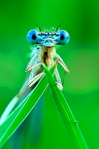Close-up of a White-legged damselfly (Platycnemis pennipis) Meinerswijk, The Netherlands, June.  -  Theo  Bosboom