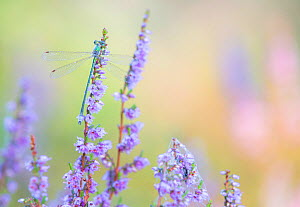 Emerald damselfly (Lestes sponsa) on heather, Hatertse vennen near Nijmegen, the Netherlands, August. - Theo  Bosboom