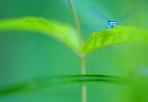 Common bluetail damselfly (Ischnura elegans) on leaf, Millingerwaard, the Netherlands, June. - Theo  Bosboom