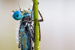 Common blue damselfly (Enallagma cyathigerum) covered in dew in morning and unable to fly,  Hondenven, Tubbergen, the Netherlands, August. - Theo  Bosboom