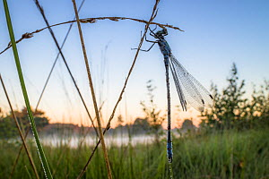 Emerald damselfly (Lestes sponsa)  before sunrise, Hondenven, Tubbergen, the Netherlands, July.  -  Theo  Bosboom