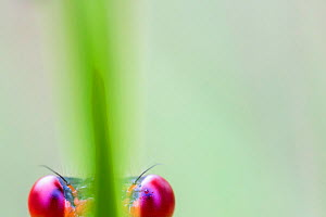 Small red damselfly (Ceriagrion tenellum) close up of eyes, Hondenven, Tubbergen, the Netherlands, July.  -  Theo  Bosboom