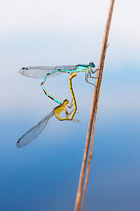 Variable damselfly (Coenagrion pulchellum) pair mating, De Peel National Park, the Netherlands, July.  -  Theo  Bosboom
