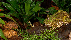 Horned frog (Ceratophrys ornata) catching a cricket, UK. Captive, native to South America.  -  Brian Bevan