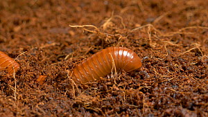 Madagascan orange ringed millipede (Aphistogoniulus sp) moving through leaf mould , UK. Captive, native to Madagascar.  -  Brian Bevan