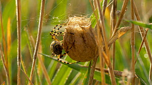 Wasp spider (Argiope bruennichi) weaving egg sac, Bedfordshire, England, UK, August.  -  Brian Bevan