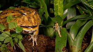 Cane toad (Rhinella marina) eating a locust, UK. Captive, native to the Americas.  -  Brian Bevan