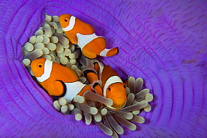 Three False clownfish (Amphiprion ocellaris) in Sea anemone (Heteractis magnifica) Lighthouse Reef, Cabilao Island, Bohol, Central Visayas, Philippines, Pacific Ocean.  -  Franco  Banfi