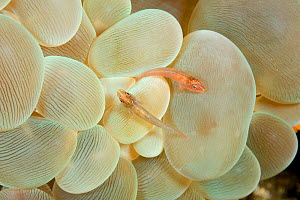 Rounded bubblegum / Bubble coral (Plerogyra sinuosa) with two Gobies (Gobiidae) on it, Lazi Pier, Dumaguete, East Negros Island, Central Visayas, Philippines, Pacific Ocean. - Franco  Banfi
