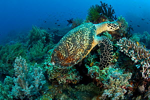 Hawksbill turtle (Eretmochelys imbricata) on coral reef, Central Visayas, Philippines, Pacific Ocean, Critically endangered species. - Franco  Banfi