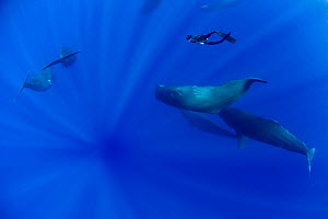 Sperm whale (Physeter macrocephalus) pod with a free diver swimming amongst them, Dominica, Caribbean Sea, Atlantic Ocean, Vulnerable species. Model released  -  Franco  Banfi