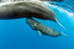 Sperm whale (Physeter macrocephalus) mother surfacing with calf below, Dominica, Caribbean Sea, Atlantic Ocean, Vulnerable species.  -  Franco  Banfi