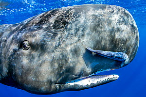 Sperm whale (Physeter macrocephalus) portrait, with remora fish, Dominica, Caribbean Sea, Atlantic Ocean, Vulnerable.  -  Franco  Banfi