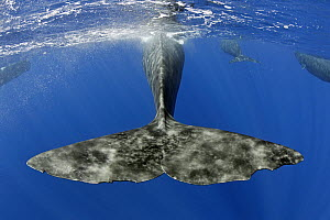 Sperm whale (Physeter macrocephalus) tail below water as whale surfaces, Dominica, Caribbean Sea, Atlantic Ocean, Vulnerable species.  -  Franco  Banfi