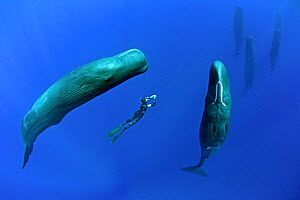 Sperm whales (Physeter macrocephalus) socialising with free diver stopped between two individuals,  Dominica, Caribbean Sea, Atlantic Ocean, January, Vulnerable species. - Franco  Banfi