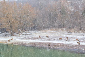 Red deer (Cervus elaphus) grazing beside lake in the snow. Central Apennines, Abruzzo, Italy, February.  -  Bruno D'Amicis