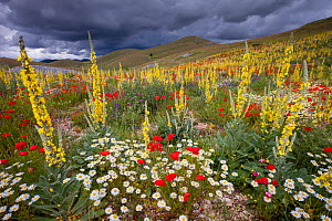 Common mulleins (Verbascum thapsus), Poppies (Papaver rhoeas), and Daisies flowering in mountain pasture. Gran Sasso National Park, Central Apennines, Abruzzo, Italy, June.  -  Bruno D'Amicis