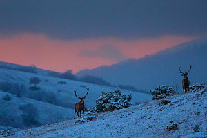 Red deer (Cervus elaphus) stags at sunset. Central Apennines, Abruzzo, Italy.  -  Bruno D'Amicis
