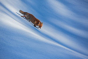 Red fox (Vulpes vulpes) walking through snow. Central Apennines, Molise, Italy, February.  -  Bruno D'Amicis