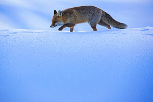 Red fox (Vulpes vulpes) walking in snow. Central Apennines, Molise, Italy, February.  -  Bruno D'Amicis