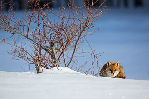 Red fox (Vulpes vulpes) lying next to Wild rose (Rosa canina) bush. Central Apennines, Molise, Italy, February.  -  Bruno D'Amicis