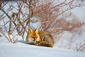Red fox (Vulpes vulpes) resting next to Wild rose (Rosa canina) bush. Central Apennines, Molise, Italy, February.  -  Bruno D'Amicis