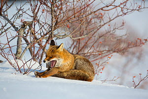 Red fox (Vulpes vulpes) stretching and yawning beside Wild rose (Rosa canina) bush. Central Apennines, Molise, Italy, February.  -  Bruno D'Amicis