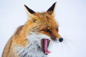 Portrait of a Red fox (Vulpes vulpes) yawning. Central Apennines, Molise, Italy, February.  -  Bruno D'Amicis
