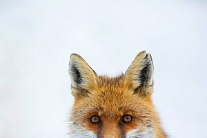Red fox (Vulpes vulpes) portrait. Central Apennines, Molise, Italy, February.  -  Bruno D'Amicis