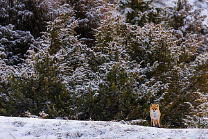 Red fox (Vulpes vulpes) standing in front of junipers in snowy landscape. Central Apennines, Abruzzo, Italy, February.  -  Bruno D'Amicis