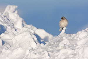 White-winged snowfinch (Montifringilla nivalis) perched on snow. Central Apennines, Abruzzo, Italy, March.  -  Bruno D'Amicis