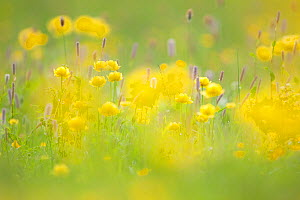 Globeflowers (Trollius europaeus) in wet meadow. Abruzzo, Central Apennines, Italy, May.  -  Bruno D'Amicis