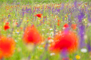 Red poppies, cornflowers, daisies and other ruderal species colonize abandoned cultivated fields. Gran Sasso National Park, Central Apennines, Abruzzo, Italy, June.  -  Bruno D'Amicis