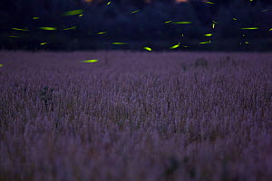 Fireflies (Luciola sp.) males displaying at dusk over a wheat field. Abruzzo, Italy.  -  Bruno D'Amicis