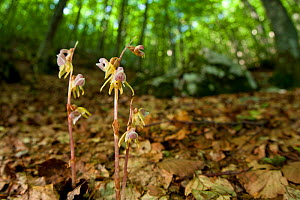 Ghost orchids (Epipogium aphyllum) growing on forest floor. Abruzzo, Central Apennines, Italy, July. - Bruno D'Amicis