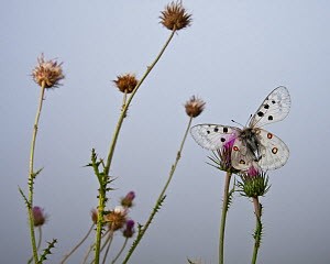Apollo butterfly (Parnassius apollo) on mountain thistle. Abruzzo, Central Apennines, Italy, Summer. - Bruno D'Amicis