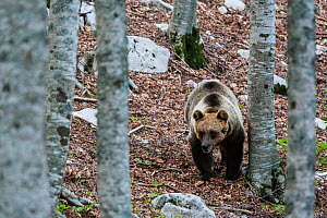 Marsican / Abruzzo brown bear (Ursus arctos marsicanus) adult female in beech wood. Critically endangered subspecies. Central Apennines, Abruzzo, Italy, September.  -  Bruno D'Amicis