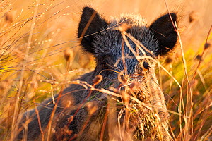 Wild boar (Sus scrofa) in tall grass on autumn morning. Abruzzo, Central Apennines, Italy, September.  -  Bruno D'Amicis