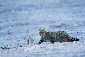 Wildcat (Felis silvestris) adult male crossing frosty meadow. Abruzzo, Central Apennines, Italy, February.  -  Bruno D'Amicis