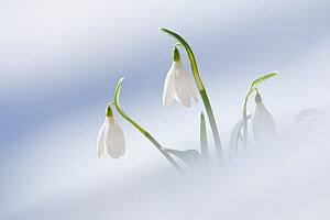 Snowdrops (Galanthus nivalis) emerging through snow on forest floor. Abruzzo, Central Apennines, Italy, March. - Bruno D'Amicis
