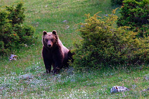Marsican / Abruzzo brown bear (Ursus arctos marsicanus) adult in spring mountain meadow. Critically endangered subspecies. Central Apennines, Abruzzo, Italy, May. Medium repro only.  -  Bruno D'Amicis