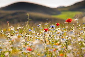 Red poppies, cornflowers, daisies and other ruderal species colonize abandoned cultivated fields. Gran Sasso National Park. Central Apennines, Abruzzo, Italy, June.  -  Bruno D'Amicis