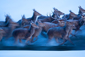 Red deer (Cervus elaphus) herd running through a stream. Central Apennines, Abruzzo, Italy, February.  -  Bruno D'Amicis
