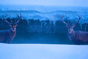 Two Red deer (Cervus elaphus) stags standing in a stream on a frosty morning. Central Apennines, Abruzzo, Italy, February.  -  Bruno D'Amicis