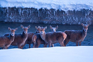 Herd of Red deer (Cervus elaphus) hinds standing in a stream on a frosty morning. Central Apennines, Abruzzo, Italy, February.  -  Bruno D'Amicis